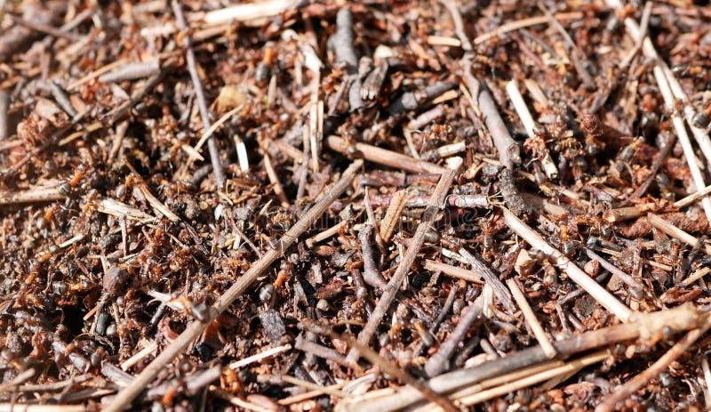 Formiche che lavorano ad un formicaio Conservazione della natura ecosistema teamwork Piccoli insetti fotografia stock libera da diritti