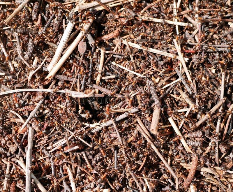 Formiche che lavorano ad un formicaio Conservazione della natura ecosistema teamwork Piccoli insetti immagini stock libere da diritti