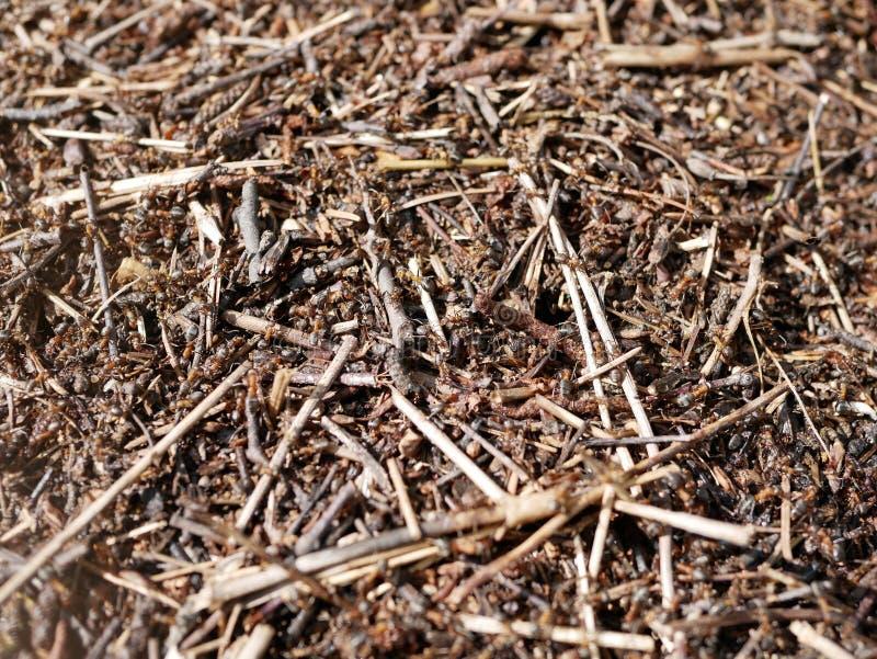 Formiche che lavorano ad un formicaio Conservazione della natura ecosistema teamwork Piccoli insetti fotografie stock