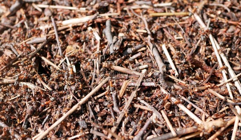 Formiche che lavorano ad un formicaio Conservazione della natura ecosistema teamwork Piccoli insetti fotografie stock libere da diritti