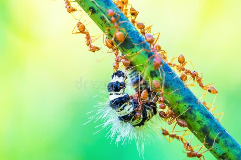 Formiche che lavorano in gruppo fotografie stock libere da diritti