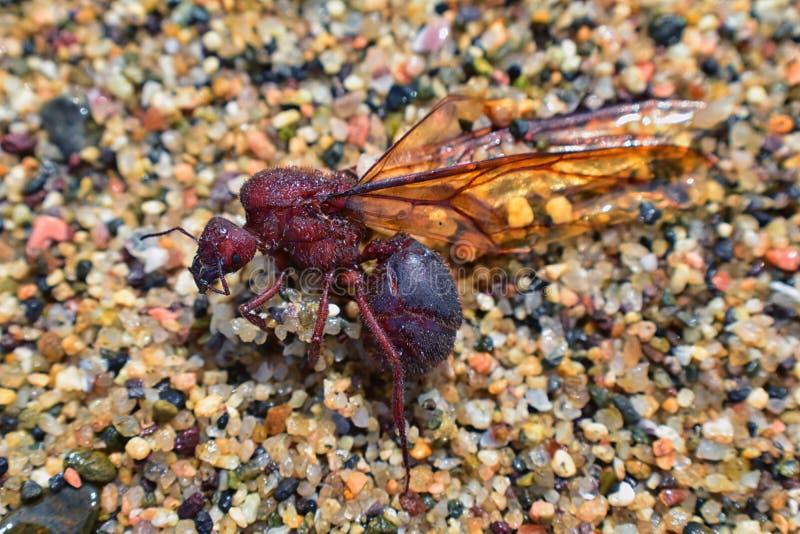 Formiche maschii alate di Leafcutter del fuco, vista alta vicina di macro, morente sulla spiaggia dopo il volo nuziale con la reg fotografia stock