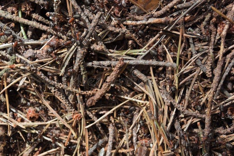 Formiche nella foresta, repubblica Ceca fotografie stock