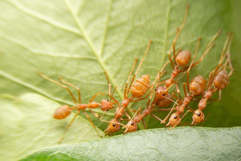 Formiche rosse dei lavori di gruppo del fuoco selettivo di vista superiore creare il loro nido dalla foglia verde dell'albero con immagine stock libera da diritti