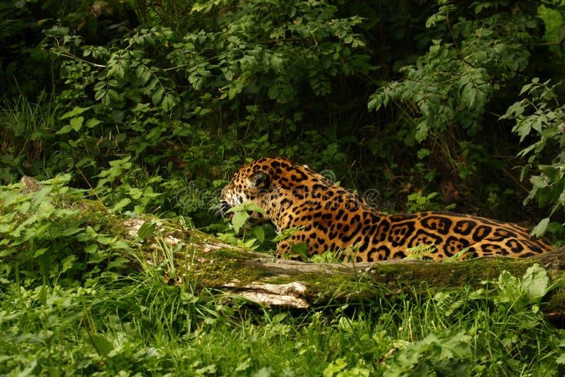 Formidabel jaguar arkivfoton