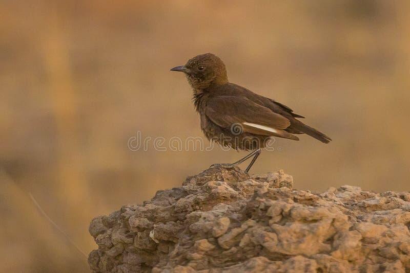 Formiga-comendo o bate-papo Myrmecocichla Formicivora Namíbia foto de stock royalty free