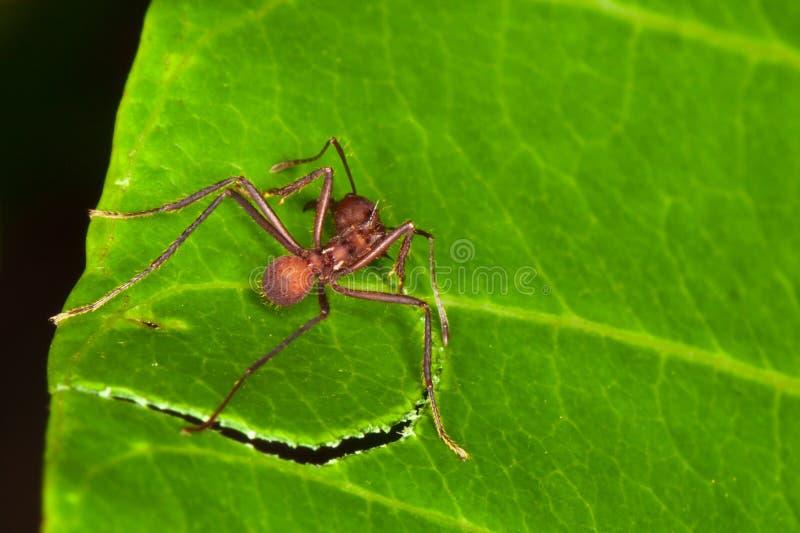 Formiga de Leafcutter fotografia de stock