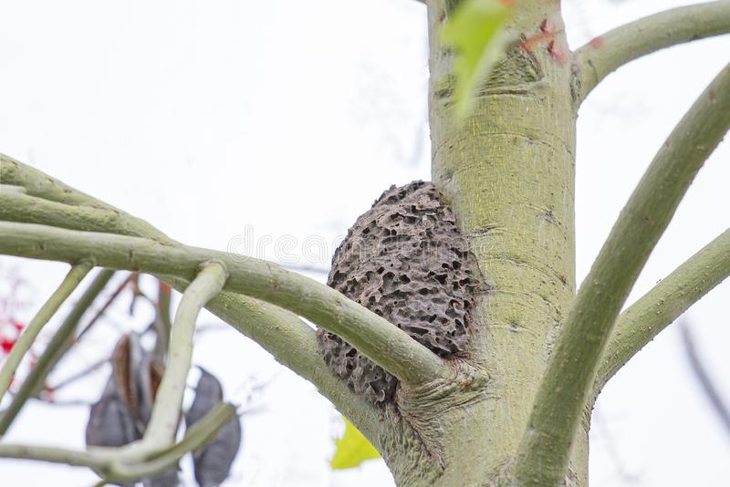 A formiga do preto do ninho na árvore imagem de stock