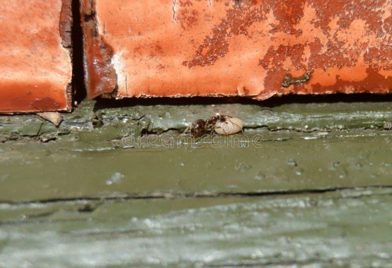 A formiga do trabalhador leva um cocon imagens de stock royalty free