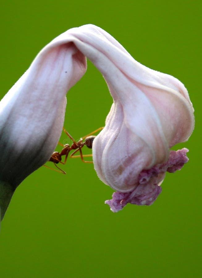 Formiga em uma flor imagem de stock royalty free