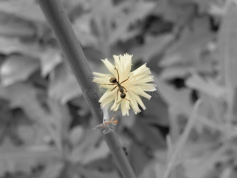 Formiga em uma flor do dente-de-leão foto de stock royalty free