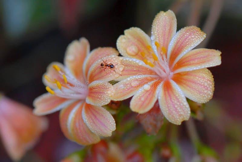 Formiga na flor fotografia de stock royalty free