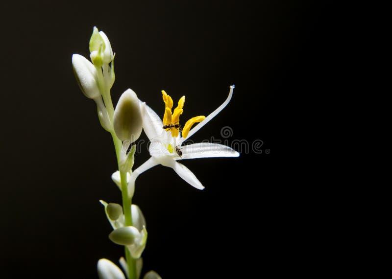 Formiga na flor branca que tem o fundo preto fotos de stock