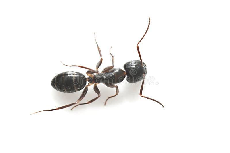 Formiga preta comum do jardim fotografia de stock