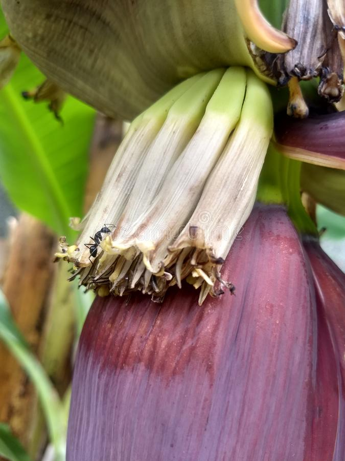 Formiga preta que come a flor da banana do bebê em meu jardim imagem de stock royalty free