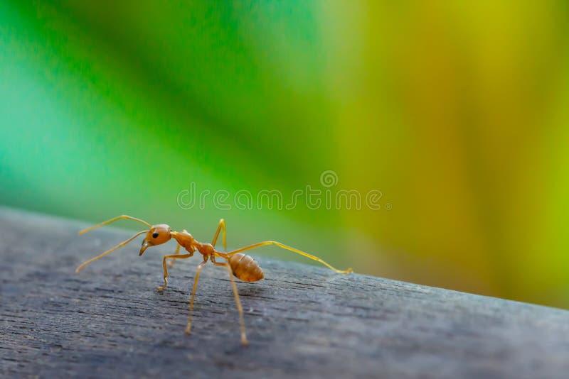 Formiga que está no assoalho de madeira fotos de stock