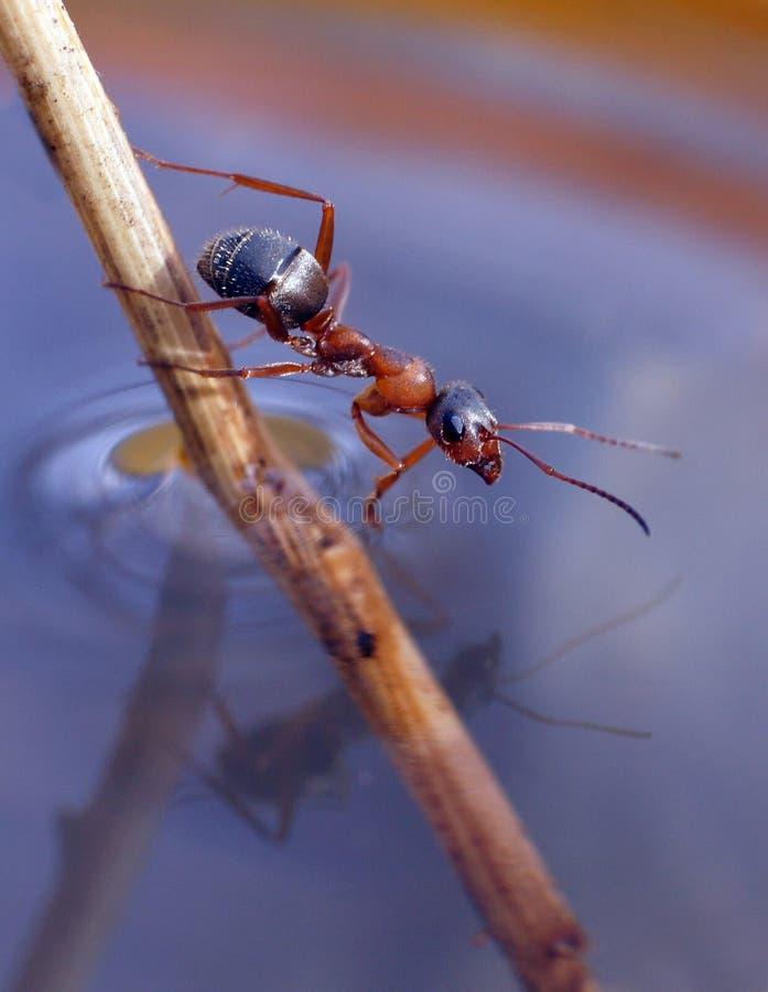 Formiga que senta-se em uma palha fotografia de stock