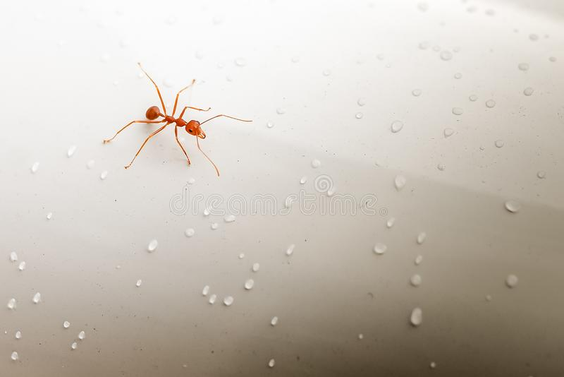 Formiga vermelha que anda na superfície molhada foto de stock