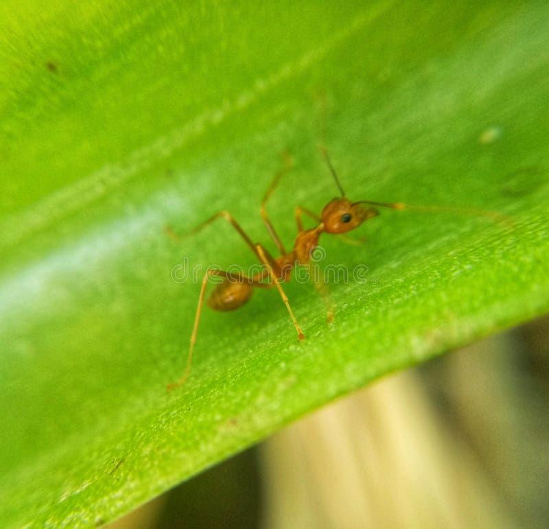 Formiga vermelha só em uma folha imagens de stock