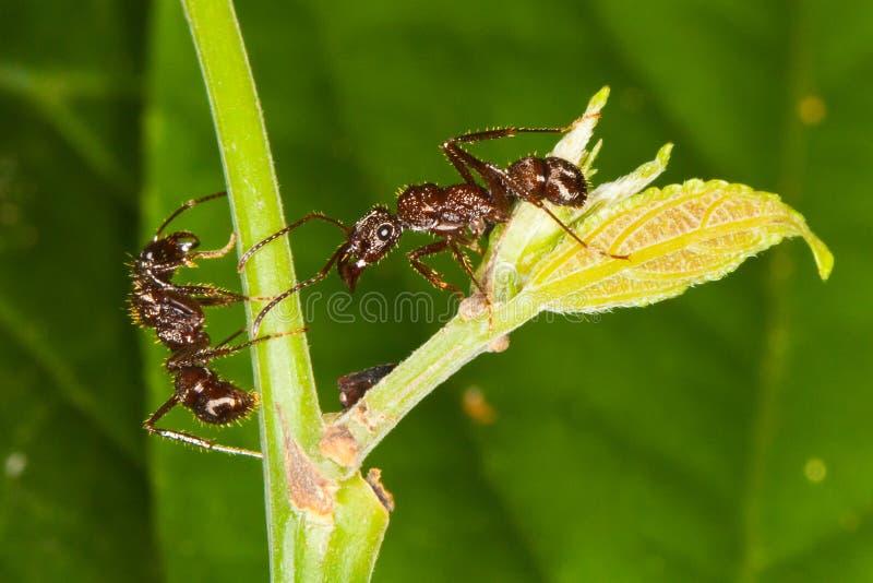 Formigas Arboreal em torno do tiquetaque. imagem de stock royalty free