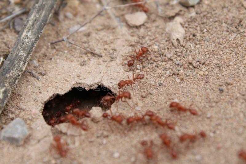 Formigas de fogo fotos de stock