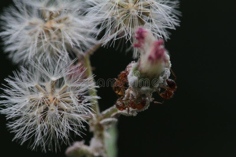 Formigas de fogo imagens de stock royalty free