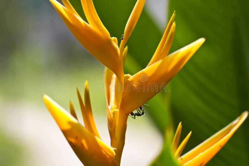 Formigas em Heliconia foto de stock