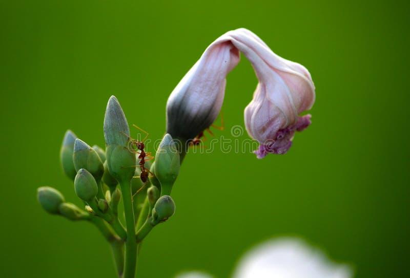 Formigas em uma flor foto de stock