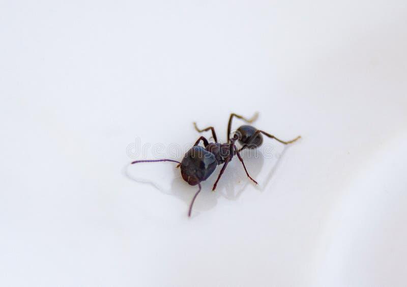 Formigas na cozinha Formiga preta em um fundo branco foto de stock royalty free
