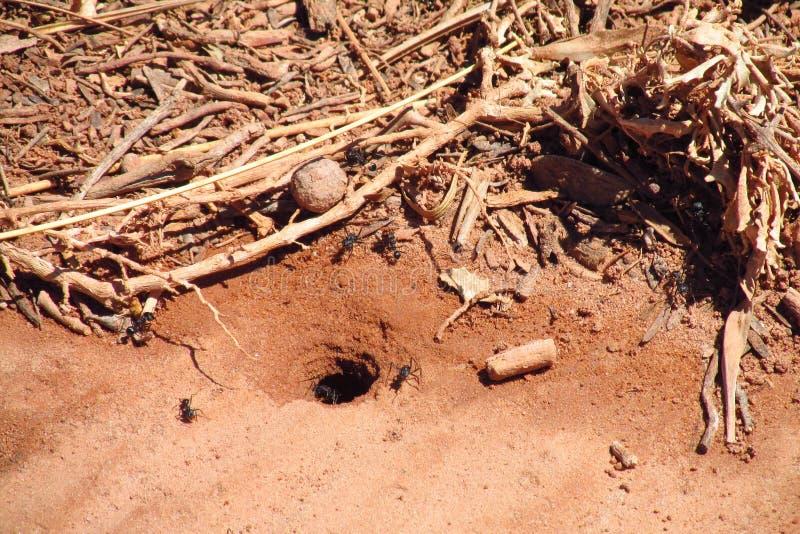 Formigas perto da toca e do abrigo de madeira imagens de stock