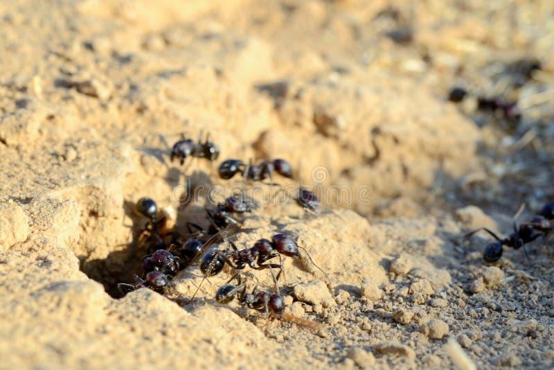 Formigas pretas imagens de stock royalty free