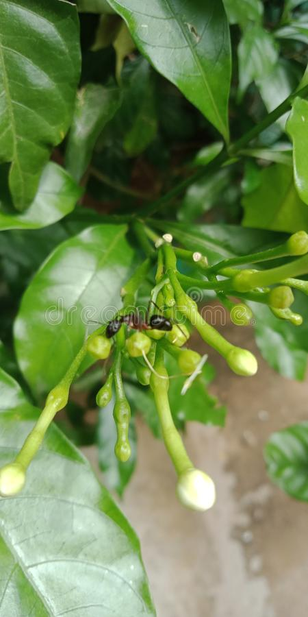 Formigas pretas na árvore das flores imagem de stock royalty free