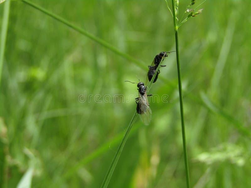 Formigas pretas na grama foto de stock