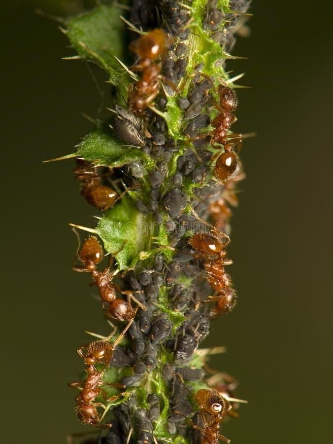 Formigas que ordenham afídios fotos de stock royalty free