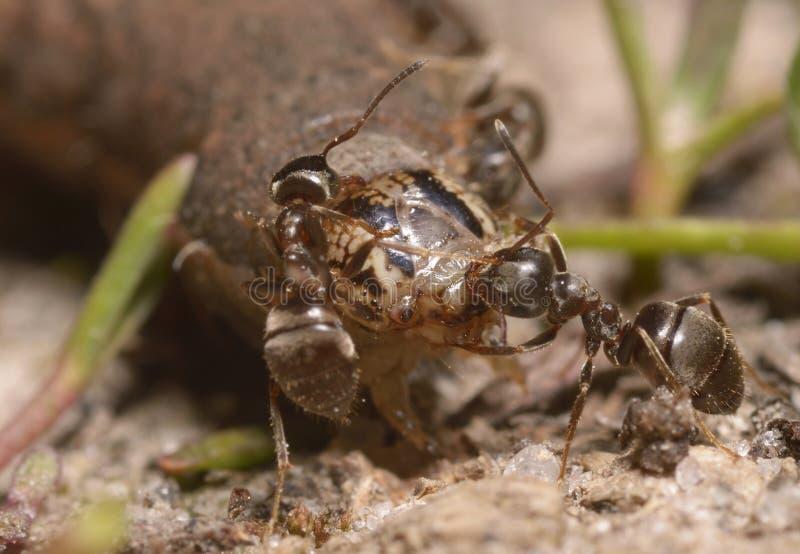 Formigas que puxam uma larva que rói o fotos de stock royalty free