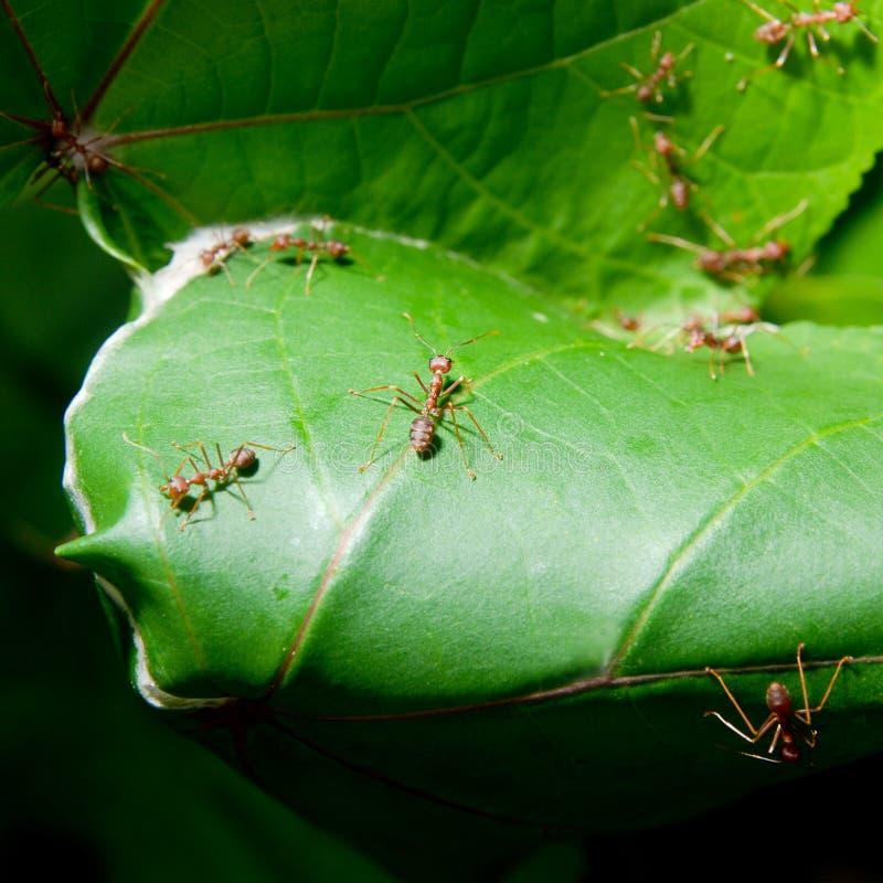 Formigas que tecem seu ninho imagem de stock