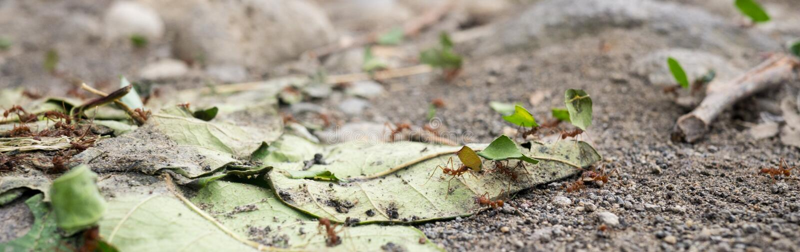 Formigas tropicais foto de stock