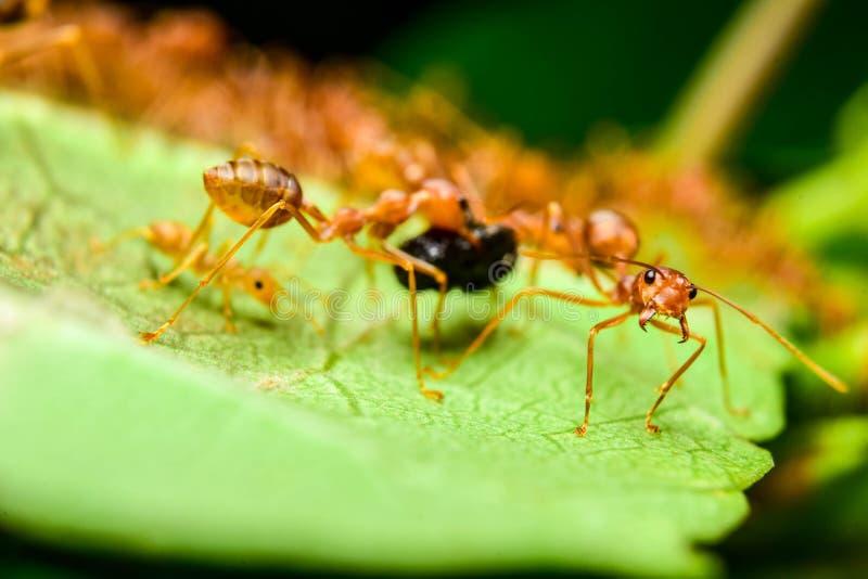 Formigas vermelhas imagem de stock royalty free