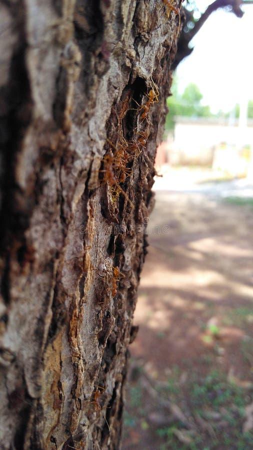 Formigas vermelhas imagens de stock royalty free