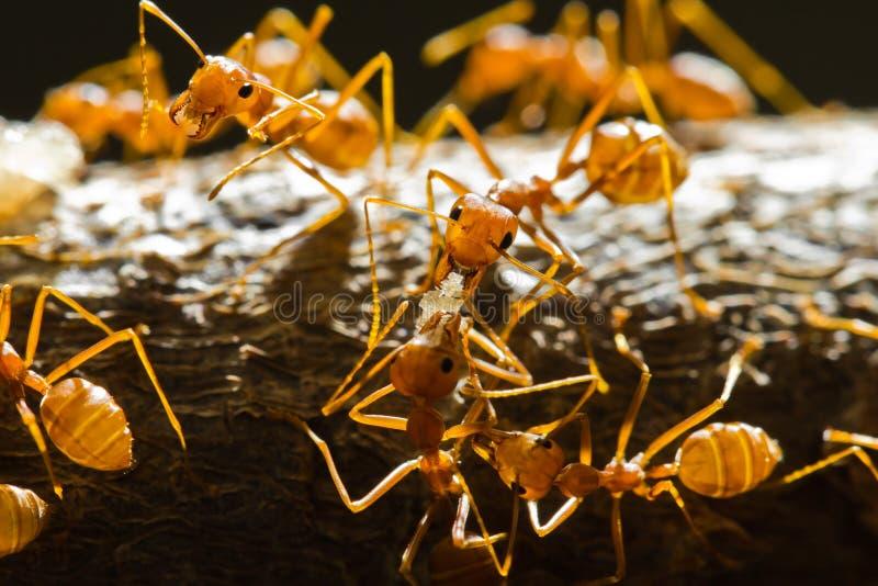 Formigas vermelhas do tecelão imagens de stock