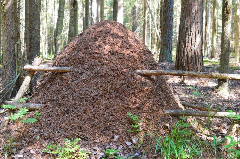 Formigueiro grande na floresta do abeto imagens de stock