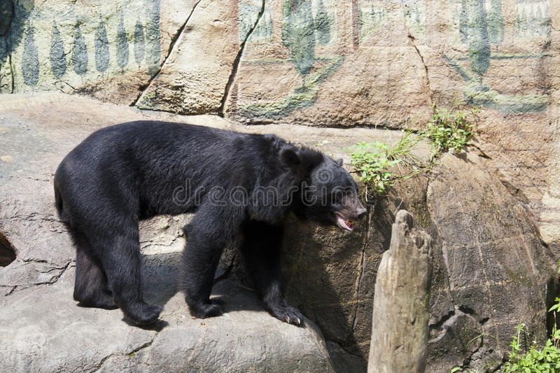 Formosa black bear,Ursus thibetanus formosanus royalty free stock photos