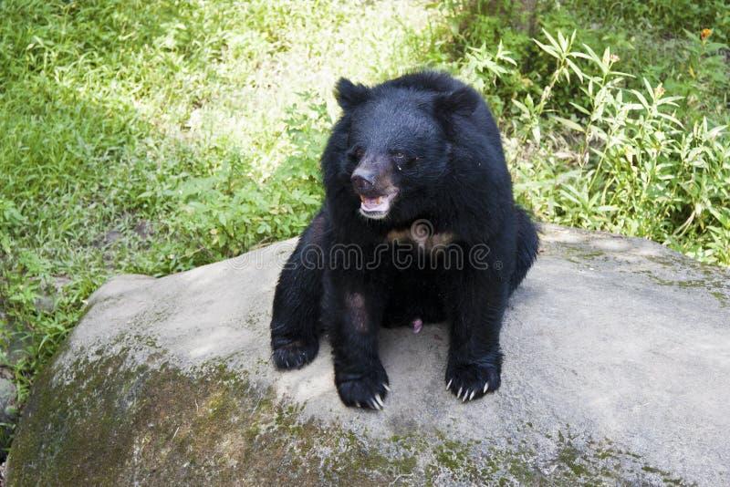 Formosa black bear,Ursus thibetanus formosanus. Formosa black bear in nature habitat,Ursus thibetanus formosanus stock photo
