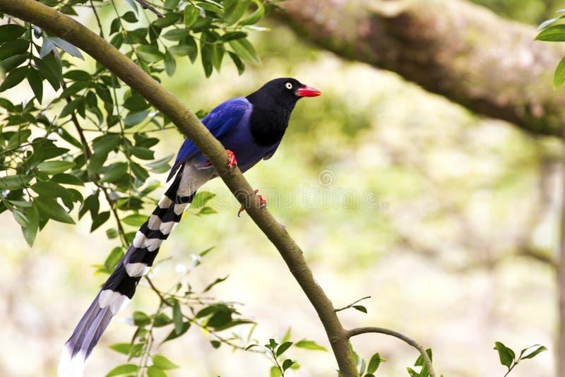 Formosa blue magpie, Urocissa caerulea. Formosa blue magpie perch on tree, Urocissa caerulea stock photos