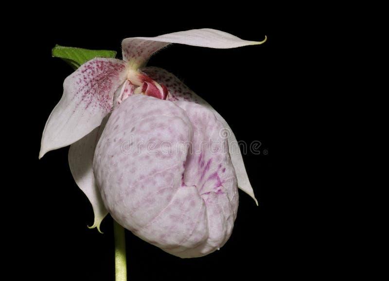 Formosa Lady's Slipper Orchid. Cypripedium formosanum stock photos