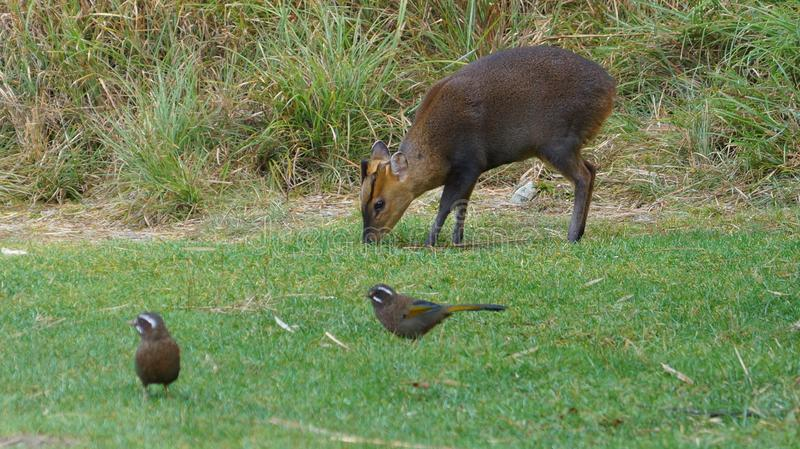 Formosan barking deer with Garrulax morrisonianus. Rare Formosan barking deer and Garrulax morrisonianus. Different species but get along well. Very peaceful stock image