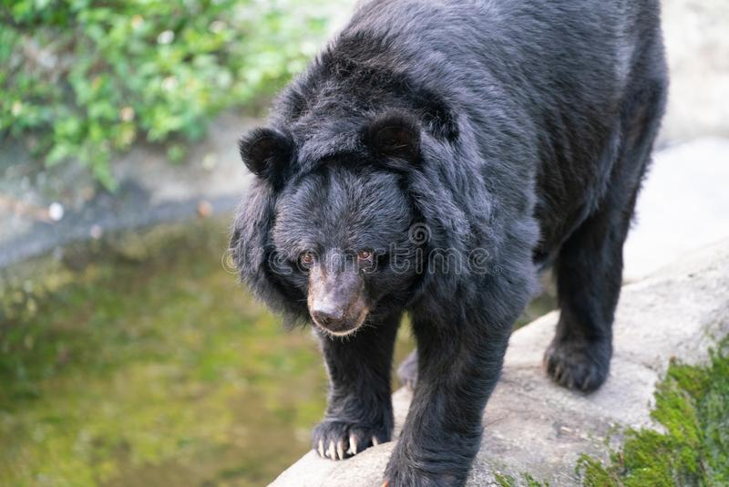 Formosan black bear or Ursus thibetanus formosanus close up view in Taiwan. Formosan black bear or Ursus thibetanus formosanus close-up view in Taiwan royalty free stock image