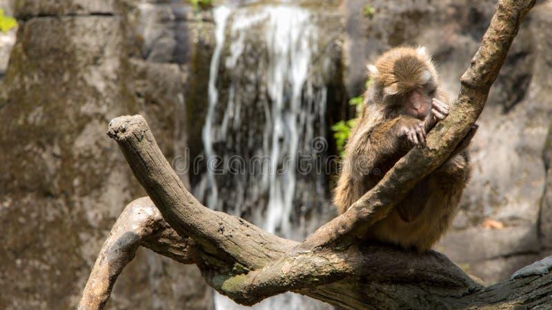 Formosan vagga macaquen som sitter på överkanten trädet royaltyfri foto