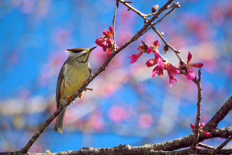 Formosan Yuhina royalty-vrije stock fotografie