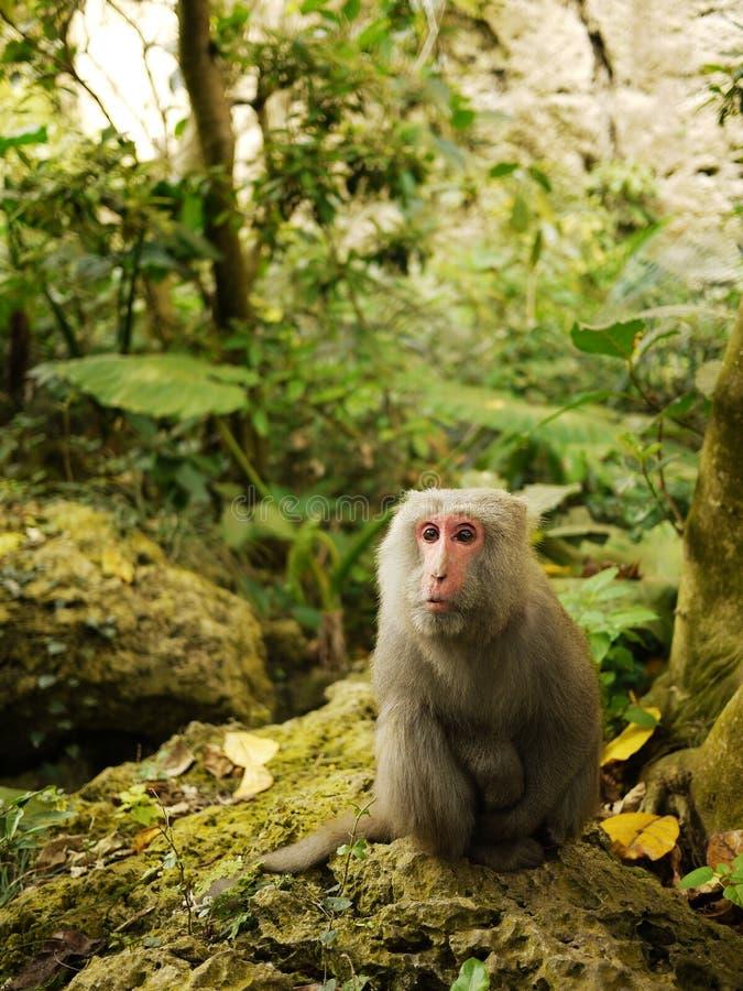 Formosischer Macaque, der auf korallenrotem Kalkstein sitzt lizenzfreie stockfotos